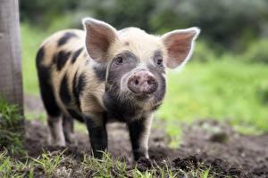 Картинки Домашняя свинья Детеныши