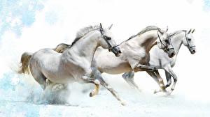 Фотография Лошади Втроем Бег Белый Животные