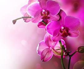 Картинки Орхидеи Вблизи Розовый Цветы