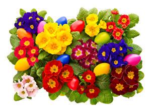 Фотографии Первоцвет Вблизи Пасха Белый фон Разноцветные Яйца