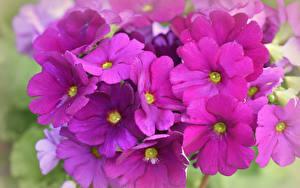 Обои Первоцвет Вблизи Розовый