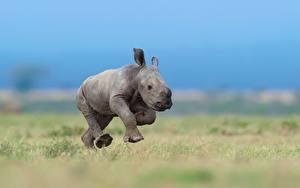 Картинка Носороги Детеныши Бег Животные