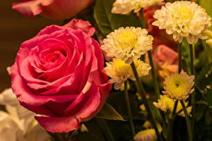 Картинки Розы Хризантемы Вблизи