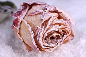 Обои Розы Крупным планом Снег Цветы картинки