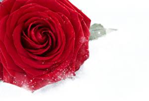 Обои Розы Крупным планом Белый фон Красный Снег Цветы