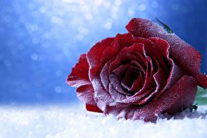 Фотография Розы Крупным планом Бордовый Снеге цветок