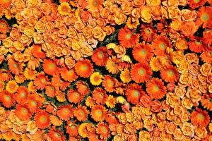 Картинка Розы Герберы Много Текстура Оранжевый Цветы