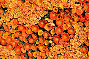 Картинка Розы Гербера Много Текстура Оранжевых цветок
