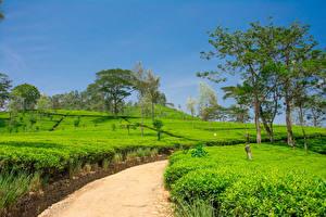 Фото Шри-Ланка Поля Весна Дороги Деревья Nuwara Eliya Природа