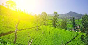 Картинки Шри-Ланка Тропики Поля Nuwara Eliya Природа