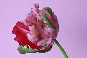 Обои Тюльпаны Крупным планом Цветной фон Цветы картинки