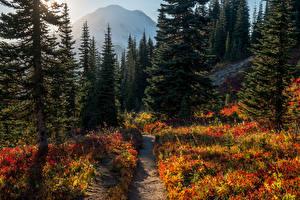Картинки США Парки Леса Ель Тропа Mount Rainier National Park Природа