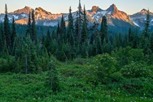 Картинки Штаты Парки Горы Леса Ель Трава Mount Rainier National Park