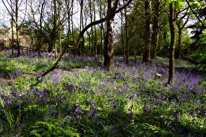 Обои Великобритания Парки Весенние Трава Колокольчики Деревья Shipley Country Park