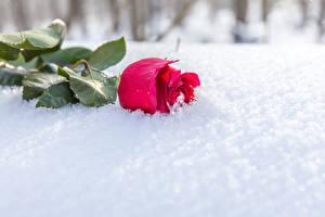 Картинка Зимние Розы Красный Снег Цветы