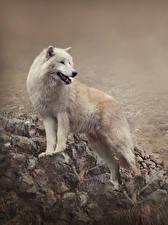 Фото Волки Белый