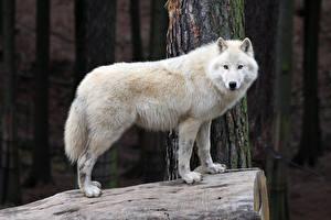 Фото Волки Белый Смотрит Животные