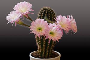Фотографии Кактусы Вблизи Серый фон Розовые Цветы