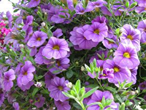 Картинка Калибрахоа Вблизи Фиолетовый Цветы