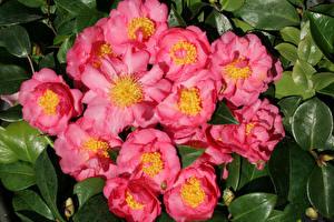 Фотография Камелия Вблизи Розовый Цветы