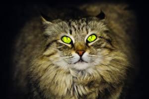 Обои Кот Глаза Смотрит Siberian животное