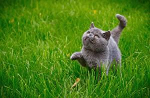 Фото Коты Серый Трава Животные