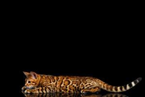 Обои Кот Бенгальская кошка Черный фон Хвост