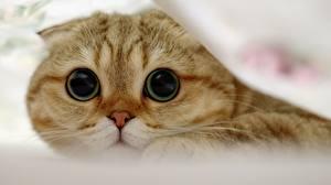 Картинка Кошки Скоттиш-фолд Глаза Взгляд Животные