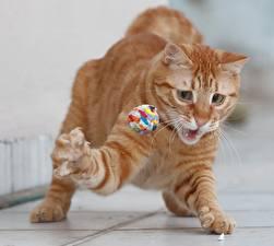 Картинки Коты Игрушки Лапы Рыжий Животные