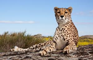 Картинки Гепарды Лапы Взгляд Животные
