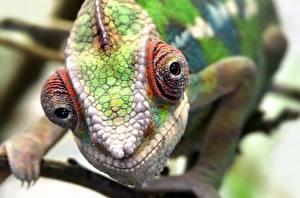 Фотография Вблизи Хамелеон Голова Смотрит Животные