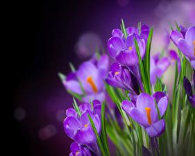 Картинки Шафран Крупным планом Фиолетовый Цветы