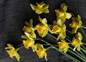 Картинки Нарциссы Вблизи Серый фон Желтый Цветы