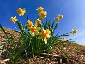 Обои Нарциссы Крупным планом Желтые цветок