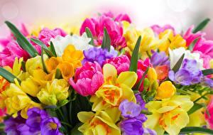 Обои Нарциссы Тюльпан Букеты цветок
