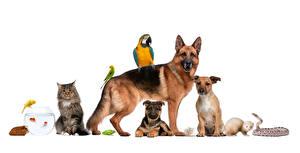 Картинки Собаки Кошка Птица Морские свинки Попугаи Змеи Белым фоном Овчарки Животные