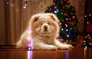 Фото Собаки Чау Чау Новый год Белый Животные