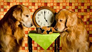 Фото Собаки Часы Золотистый ретривер Двое Животные