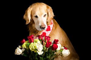 Обои Собаки Голден Букеты Розы Черный фон Животные