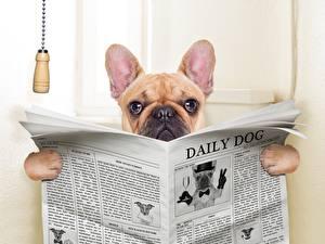 Фотография Собаки Газета Бульдог Туалет Животные