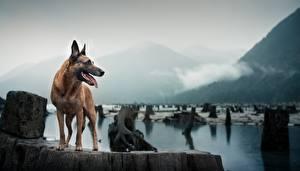 Фотографии Собаки Овчарка