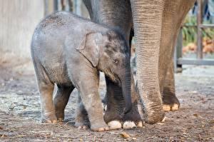 Картинки Слоны Детеныши Животные
