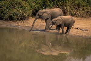 Фото Слоны Двое Животные