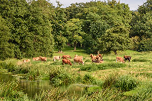 Картинка Англия Парки Корова Трава Attingham Park Природа