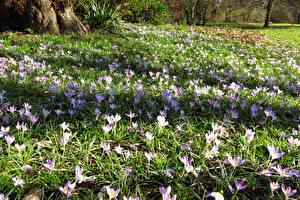Обои Англия Парки Весенние Шафран Лондон Cannizaro Park Цветы