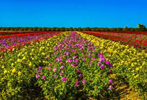Обои Поля Розы Много Кусты Разноцветные Цветы