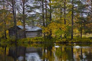 Картинка Финляндия Лапландия область Озеро Осень Лебеди Деревья Posio