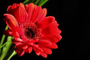 Фотографии Герберы Вблизи Красный Черный фон Цветы
