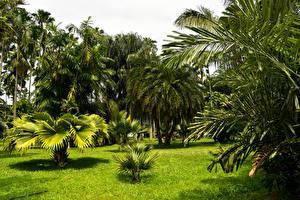 Фотографии Индонезия Парки Пальмы Траве Bogor Природа