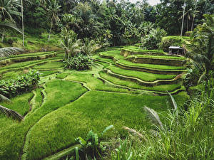 Картинка Индонезия Тропики Поля Ubud Bali Природа